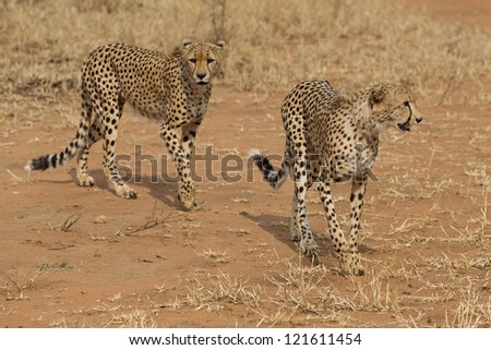 African Cheetah in Kruger National Park