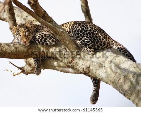 African Cheetah predator sitting - stock photo