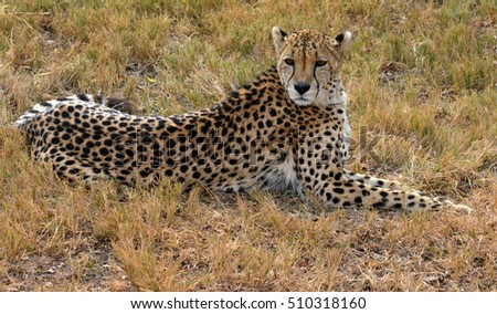 African Cheetah resting in nature, South Africa