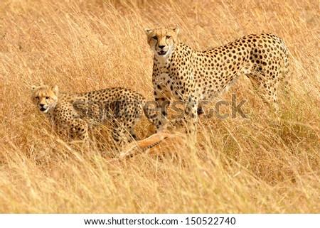 African Cheetahs (Acinonyx jubatus) on the Masai Mara National Reserve safari in southwestern Kenya. - stock photo