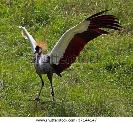 African Crane dancing - stock photo