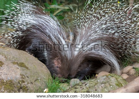 African Crested Porcupine Pair Portrait