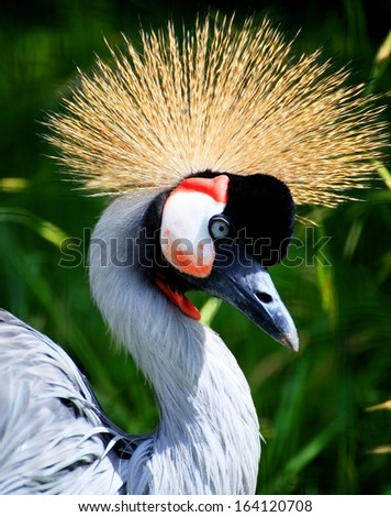 African Crowned Crane national bird of Uganda