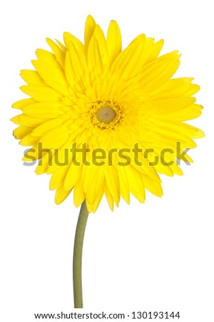 african daisy (gerbera) isolated on white