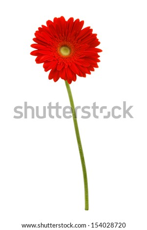 african daisy isolated on white background - stock photo