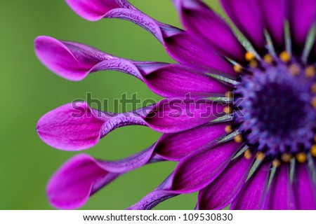 African Daisy or Osteospermum tropical flower.USA, Hawaii, Maui