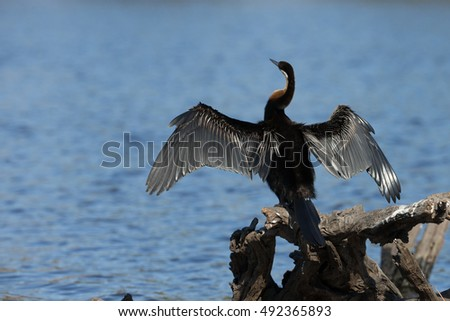 African Darter on Chobe River, Kasane Botswana