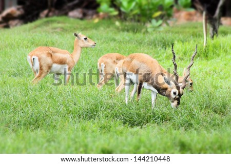 african deer family eating in the field - stock photo
