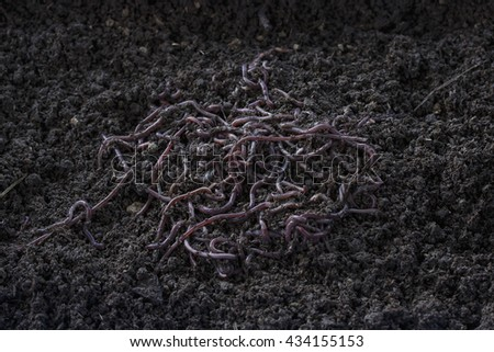 African earthworm in compost.