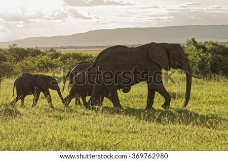 African elephant and babies, Masai Mara National Reserve, Kenya, Africa - stock photo