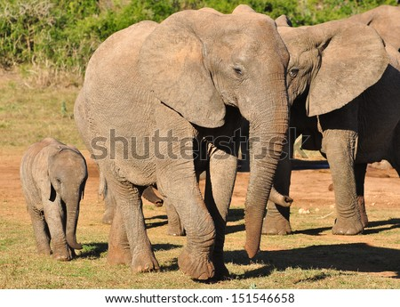African Elephant and calf
