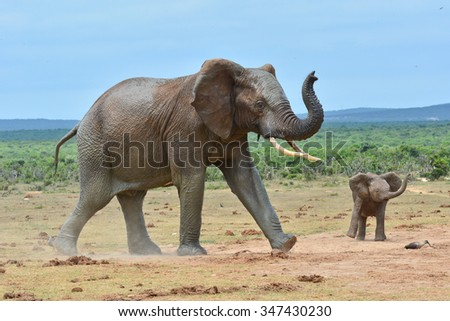 African Elephant and calf - stock photo