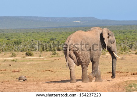 African Elephant and tortoise