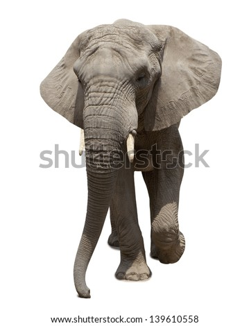 African elephant approaching  isolated on white background