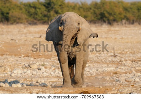 African elephant are run, etosha nationalpark, namibia, (loxodonta africana)