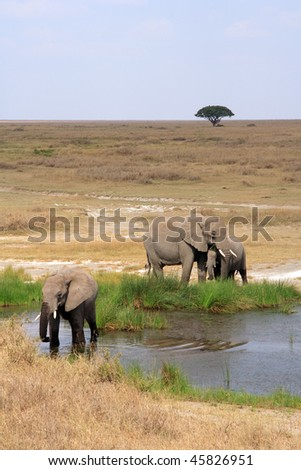 african elephant at a waterhole - stock photo