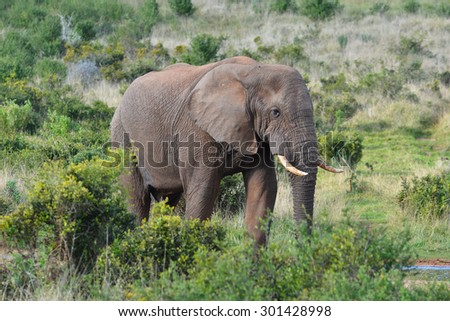 African Elephant at a watering hole