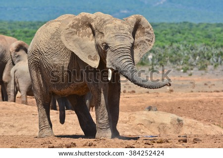 African Elephant at a watering hole - stock photo