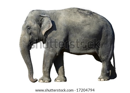 African elephant at the zoo, isolated on white background.