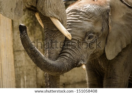 African elephant baby Tuluba with his mother in ZOO Schoenbrunn,Vienna,Austria. - stock photo