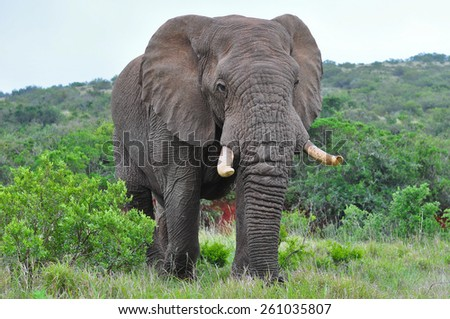 African Elephant browsing