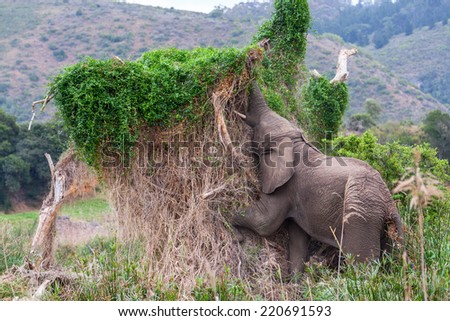 african elephant browsing in tall reeds and grass of a river bed reaching for green leaves.