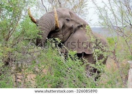 African elephant bull feeding on shrubs - stock photo