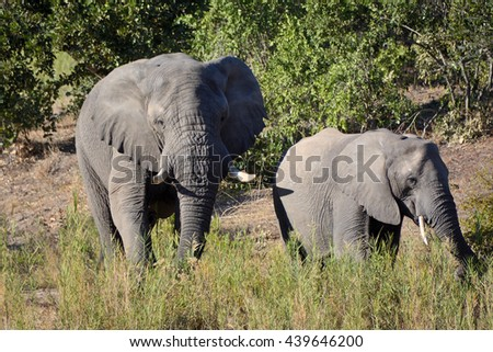 African elephant bull feeding with the herd on the reeds in a dry riverbed - stock photo