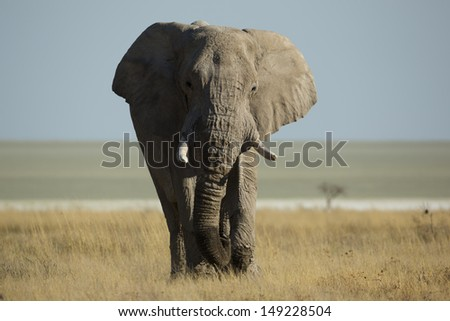 African elephant bull in front of Etosha Pan, Namibia