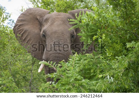 African Elephant bull, Loxodonta africana, amongst green foliage in the Kruger National Park, South Africa.