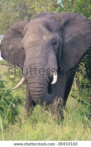 African elephant charge