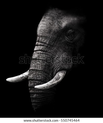 African Elephant close up Portrait