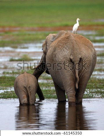 African Elephant Cow and Calf walking across the African Savanah - stock photo