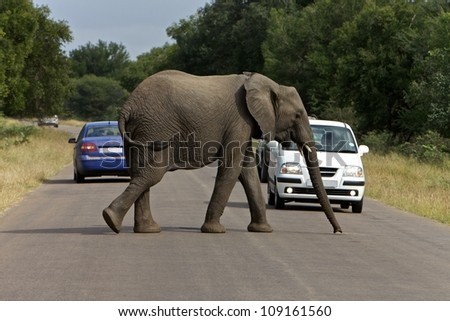 African elephant crossing the road - stock photo