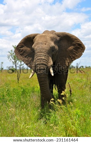African elephant during midday heat at Kruger National Park - stock photo