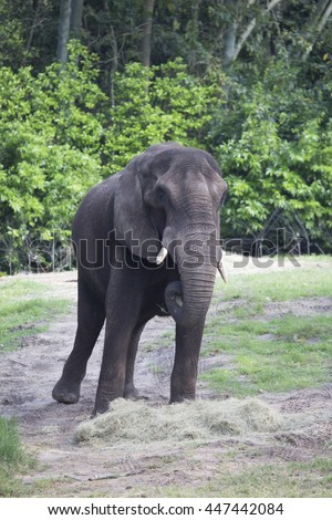 African Elephant eating hay surrounded by trees close up - stock photo