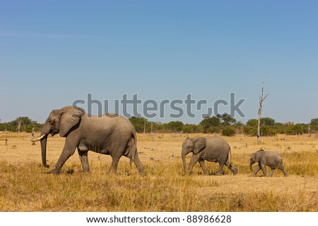 African elephant family walking in the savanna