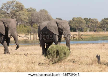 African Elephant feeding and bathing in the Khwai River area of Botswana