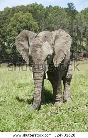 African elephant feeding on grass South Africa