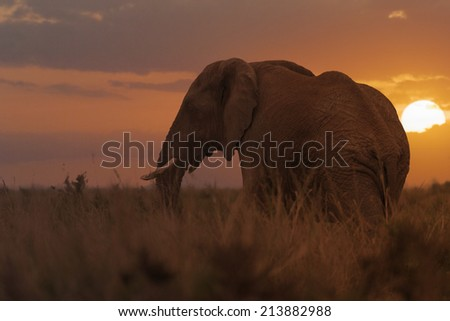 African elephant, female, in long grass of Masai Mara, Kenya - stock photo