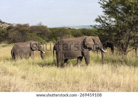African Elephant  Female with her young calf , Loxodonta Africana  Tanzania - stock photo