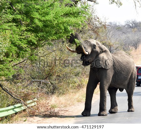 African Elephant has trunk tied around branches of a tree higher up, tusks pointing upwards as it tugs to strip the tree of the vegetation.