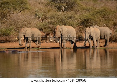 African Elephant herd consisting of four bachelor bulls drinking water in the peace and tranquility at a dam. - stock photo