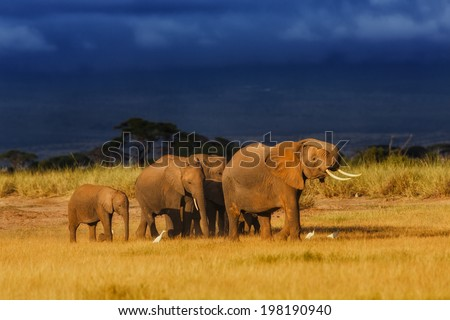 African elephant herd enjoys the last rays of the sun, because soon the rain will come in the dark sky in the background. Amboseli National Park, Kenya - stock photo