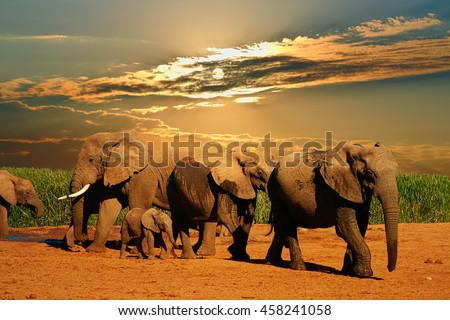 African elephant herd, Loxodonta africana, of different ages walking away from water hole, Addo Elephant National Park, South Africa