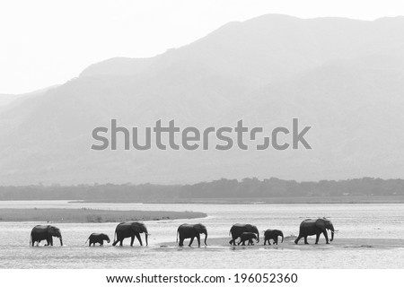 African Elephant herd walking on water - stock photo