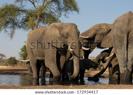 African Elephant in a water hole