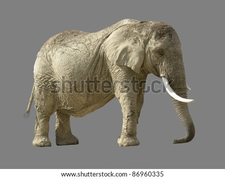 african elephant in grey back