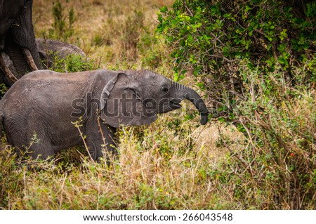 African elephant in Kenya - stock photo