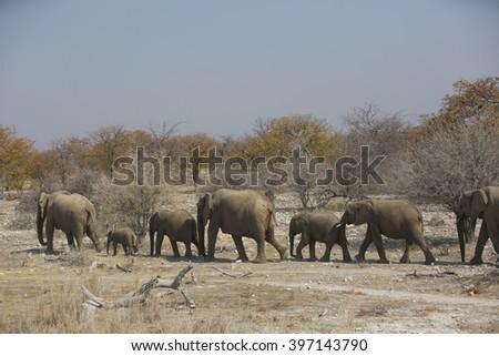 African elephant in the desert - stock photo